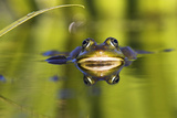 Edible Frog in the Danube Delta, Reflecting in Water, Romania Photographic Print by Martin Zwick