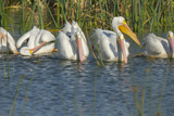 White Pelicans in Line to Begin Feeding, Viera Wetlands Florida, Usa Photographic Print by Maresa Pryor