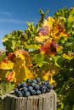 USA, Washington. Merlot Grapes in Eastern Washington Vineyard Papier Photo par Richard Duval