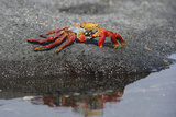 Ecuador, Galapagos, Fernandina Island. Sally Lightfoot Crab Photographic Print by Kevin Oke