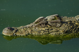 Cuban Crocodile Captive in Crocodile Farm Near Zapata Swamp NP, Cuba Photographic Print by Pete Oxford