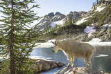 Mountain Goat, at Wing Lake Photographic Print by Matt Freedman