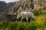 Mountain Goat, Hidden Lake Trail, Glacier NP, Kalispell, Montana Photographic Print by Howie Garber