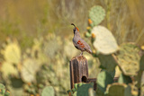 USA, Arizona, Tucson, Gambel's Quail Photographic Print by Peter Hawkins