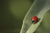 Convergent Ladybird Beetle on Cleveland Sage, Southern California Photographic Print by Rob Sheppard