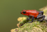 Strawberry Poison Dart Frog in Rainforest, Selva Verde, Costa Rica Photographic Print by Rob Sheppard