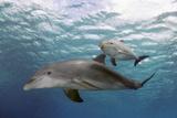 Atlantic Bottlenose Dolphins and Baby. Curacao, Netherlands Antilles Reprodukcja zdjęcia autor Barry Brown