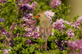 Northern Cardinal Female in Lilac Bush, Marion, Illinois, Usa Photographic Print by Richard ans Susan Day