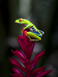 Red-Eyed Tree Frog. Sarapiqui. Costa Rica. Central America Photographic Print by Tom Norring