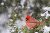 Northern Cardinal Male in Juniper Tree in Winter Marion, Illinois, Usa Reproduction photographique par Richard ans Susan Day
