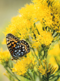 Coronis Fritillary, Nectaring on Rabbitbrush, WY Photographic Print by Howie Garber