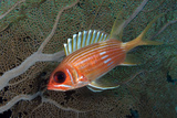 Longspine Squirrelfish with Sea Fan. Curacao, Netherlands Antilles Photographic Print by Barry Brown