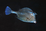 Adult Honeycomb Cowfish. Curacao, Netherlands Photographic Print by Barry Brown