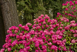 Rhododendrons, Crystal Springs Garden, Portland, Oregon, Usa Photographic Print by Michel Hersen