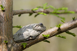 Gray Tree Frog on Tree, Little Black Slough, Cache River Sna, Il Photographic Print by Richard ans Susan Day