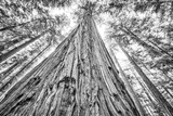 Roosevelt Grove, Humboldt Redwoods State Park, California Photographic Print by Rob Sheppard