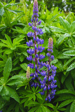 Iceland. Reykjavik. Lupines with Droplets of Rainwater Photographic Print by Inger Hogstrom