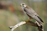 The Prairie Falcon Perched on a Dead Branch, Arizona, Usa Photographic Print by Richard Wright