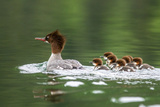 Common Merganser with Chicks in Beaver Lake, Montana, Usa Photographic Print by Chuck Haney