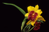 Cattleya Orchid, Ivory Coast, Cote D'Ivoire, West Africa Photographic Print by Charles Cecil