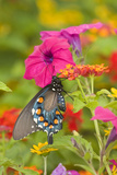 Pipevine Swallowtail on Red Spread Lantana, Marion Co. Il Reproduction photographique par Richard ans Susan Day