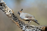 Gambel's Quail Feeds on the Skeleton of Cholla Cactus, Sonoran Desert Photographic Print by Richard Wright