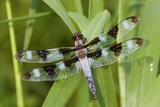 Twelve-Spotted Skimmer Male Near Wetland, Marion Co. Il Reproduction photographique par Richard ans Susan Day