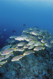 Group of Fish Swimming in Sea Photographic Print by Michele Westmorland
