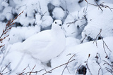 Willow Ptarmigan, Churchill Wildlife Area, Churchill, Manitoba, Canada Photographie par Richard ans Susan Day