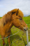 Iceland. Dyrholaey. Icelandic Horse on a Farm Photographic Print by Inger Hogstrom
