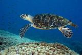 Hawksbill Sea Turtle Along a Coral Reef. Curacao, Netherlands Antilles Fotografisk tryk af Barry Brown