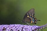 Spicebush Swallowtail Butterfly, Marion, Illinois, Usa Reproduction photographique par Richard ans Susan Day