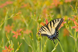 Eastern Tiger Swallowtail on Blackberry Lily, Marion Co. Il Reproduction photographique par Richard ans Susan Day