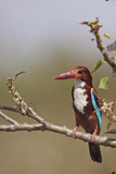 White Throated Kingfisher, Corbett National Park, India Photographic Print by Jagdeep Rajput