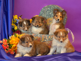 Five Shetland Sheepdog Puppies in and Out of a Hat Box Photographic Print by Zandria Muench Beraldo