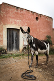 Piebald Donkey Outside a Building. Pozos, Mexico Stampa fotografica di Julien McRoberts