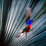 USA, Florida, Immokalee, Painted Bunting Flying Palmetto Background Photographic Print by Bernard Friel