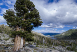 Sierra Juniper and Evergreens Above Echo Lake, Sierra Nevada Mountains Photographic Print by Howie Garber