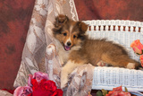 Shetland Sheepdog Lying on a White Wicker Couch and Doily Photographic Print by Zandria Muench Beraldo