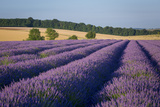 Rows of Lavender Near Snowshill, Cotswolds, Gloucestershire, England Fotografisk tryk af Brian Jannsen