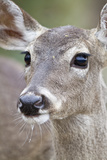 White-Tailed Deer Doe Drinking Water Starr, Texas, Usa Photographic Print by Richard ans Susan Day