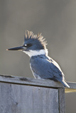Belted Kingfisher Sitting on Wood Duck Nest Box, Marion, Illinois, Usa Photographic Print by Richard ans Susan Day