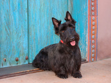 Scottish Terrier Sitting by Colorful Doorway Fotografiskt tryck av Zandria Muench Beraldo