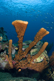 Brown Tube Sponge. Curacao, Netherlands Antilles Photographic Print by Barry Brown