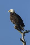 Adult Bald Eagle, Haliaeetus Leucocephalus, Sw Florida Photographic Print by Maresa Pryor