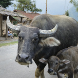Laos, Vang Vieng. Adult and Baby Buffalo on Road Photographic Print by Matt Freedman