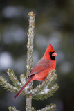 Northern Cardinal Male in Spruce Tree in Winter, Marion, Illinois, Usa Photographic Print by Richard ans Susan Day