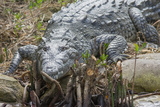 American Crocodile Sunning, Everglades NP, Florida, Usa Photographic Print by Maresa Pryor
