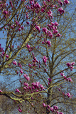 Magnolia Blossoms, Oregon Garden, Silverton, Oregon, Usa Photographic Print by Michel Hersen