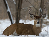 Big Buck Photographic Print by Steve Oehlenschlager
